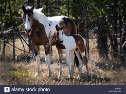 paint horses running in a field. Exellent Paint Wild Horse Mare With Pony In Yukon Territory Canada Part Of A Wild Herd  Which In Paint Horses Running A Field R