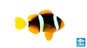 Clown Fish Identification Chart Ora Clownfish Ora Oceans Reefs Aquariums