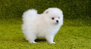 White Pomeranian Why White Poms Are More Unusual Than Most