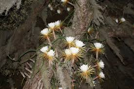 Large-flowered cactus