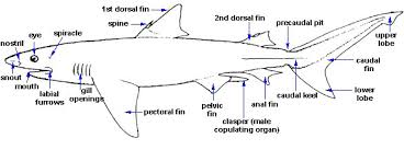 shark gill diagram shark database wiring diagram images body features florida museum of natural history