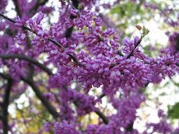 niagara falls region blooming tree