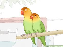 How To Breed Lovebirds 13 Steps With Pictures Wikihow
