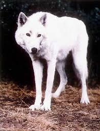 white husky wolf mix. Interesting Wolf The  To White Husky Wolf Mix