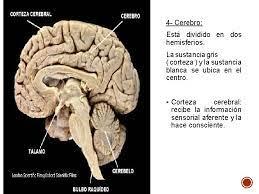 qu es el sistema nervioso que funcin ple