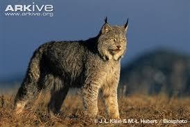 lynx size canadian lynx v coyote