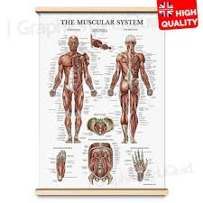 Details About Muscle Anatomy Superficial Muscle Chart Human Body Deep Poster A4 A3 A2 A1