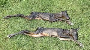 Hunde hetzen Ricke in Nordwohlde zu Tode | Bassum