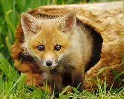 Рыжая лисица фото и реферат описание лисы Животный мир Рыжая лисица фото и реферат описание лисы