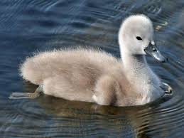 Image result for pictures of swans