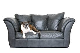 a dog laying on a leather couch