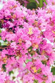 Crape Myrtle Colors Chart How To Properly Prune Crape Myrtle Trees Gardeners Path