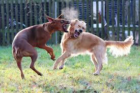 puppy aggression why dogs fight how to stop a dog fight out getting hurt