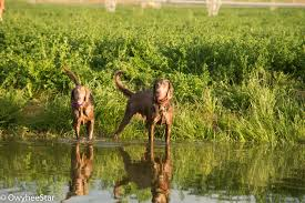 Owyheestar Weimaraner's News | News and information for our ...