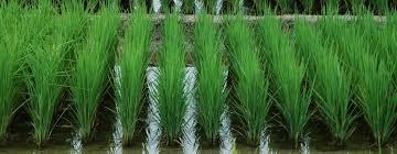"""Résultat de recherche d'images pour """"riziculture en Camargue"""""""