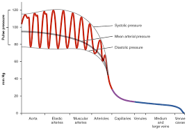 Blood Flow Blood Pressure And Resistance Anatomy And