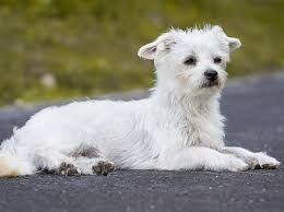 maltese dog. it is essential that you accustom your puppy to being groomed from the first day he home with you. maltese dog