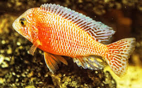 African Cichlids Aquariumnexus