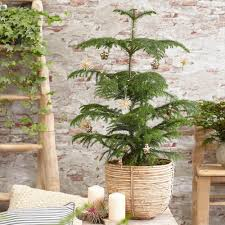 Norfolk Island Pine Trees for Sale ...