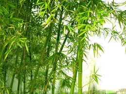 Bamboo Leaves And Stalks Plant
