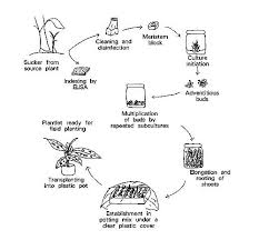 Tissue Culture Flow Chart Figure 1 Diagram Of Micropropagation Procedure Plant