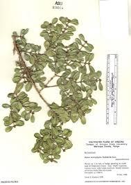 SEINet Portal Network - Buxus microphylla