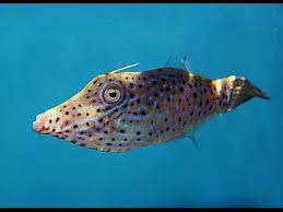 scrawled filefish.  Scrawled Scrawled Filefish Aluterus Scriptus Intended Filefish S
