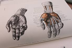 anatomy book of hands muscular view