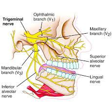 Trigeminal Nerve Innervation Diagram Nerve Anatomy