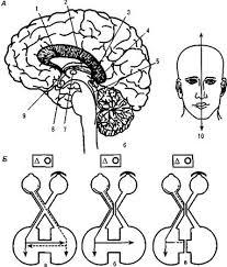 Реферат Тема Межполушарные связи мозга Б поступление зрительной информации от каждого глаза в оба полушария в норме а нарушение взаимодействия полушарий после рассечения хиазмы б