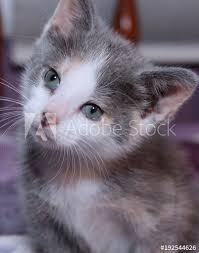 dilute calico kittens for sale. Delighful Sale CUTE DILUTE CALICO KITTEN With Dilute Calico Kittens For Sale S