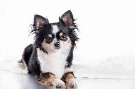 Chihuahua Color Chart Chihuahua Dog Breed Information