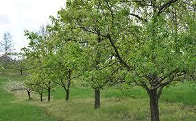 Dwarf Santa Rosa Plum Tree  Pruning Plum Plants Purple Fruits Plum Tree Flowers But No Fruit