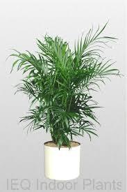 060 bamboo palm chamaedorea seifritzii brisbane office plants