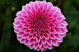 Image result for images Dahlia