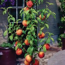 Indoor Fruit Trees From Stark Brou0027s  Indoor Fruit Trees For SaleHybrid Fruit Trees For Sale