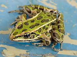 Frogs And Toads Of New York