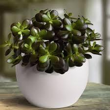 Crassula Plant