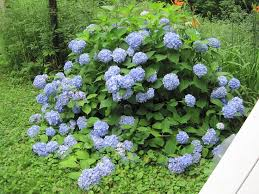 Pruning Hydrangeas How And When To Prune The Old Farmers