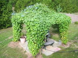 Climbing Plants Use Taste To Avoid Clinging To Other Weak Vines Climbing Plant