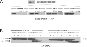 structural basis and specificity of human otubain mediated   figure
