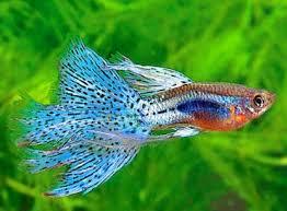 Image result for gambar budidaya ikan guppy di kolam terpal