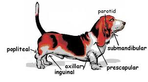 Dog Lymph Node Location Chart The Anatomy And Physiology Of Animals Lymphatic System