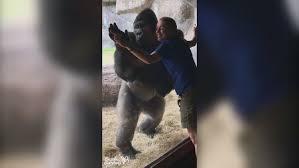 gorilla see gorilla do bolingo mimics
