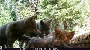gray wolf pack in forest.  Forest On Gray Wolf Pack In Forest C