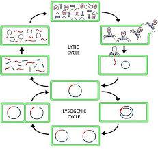 Lytic And Lysogenic Cycle Venn Diagram 40 Venn Diagram Alternative Venn Alternative Diagram