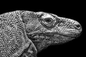 black and white reptile photography. Black And White Photography Photograph Of Komodo Dragon By Preston To Reptile