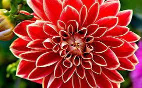 Free download Red Dahlia Wallpapers HD ...