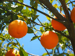 orange fruits tree oranges orange