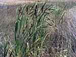 Typha shuttleworthii – Wikipedia